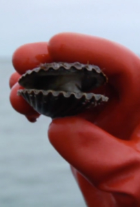 Nantucket Bay Scallops